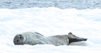 weddell seal (caroline's photo)